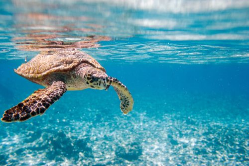 Hawksbill sea turtle swimming in Indian ocean in Seychelles - shutterstock_68699539 (1)