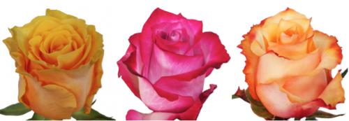 Nevado Roses