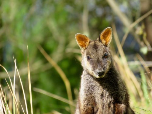 Spicers Peak Lodge wallaby