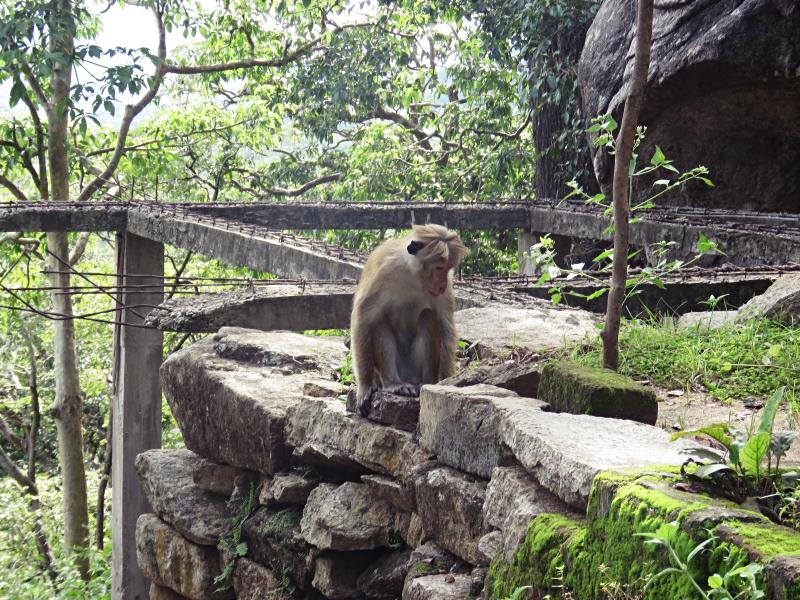 Ulpotha monkey